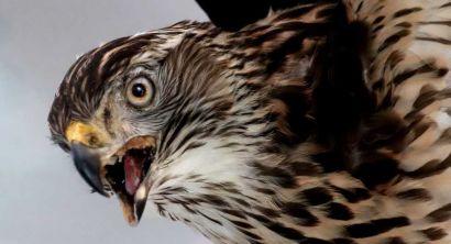 Rapaci maestosi battiti d'ali in mostra al museo di storia naturale (5)