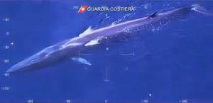 Balena_nuota_al_largo_ dell'isola_d'Elba_video_dell'elicottero_ della_Guardia_Costiera