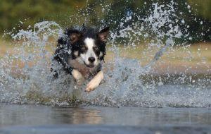cane_border-collier-mare-acqua-salto