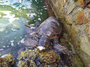 tartaruga morta a livorno