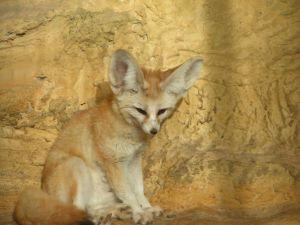 fennec-Vulpes-zerda-volpe-del-deserto