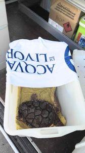 Cecina, Nanà, la tartaruga curata all'Acquario di Livorno è tornata in mare