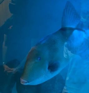 pesce balestra acquario piombino