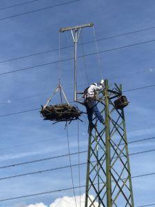 Piombino, tagliato un traliccio Enel per favorire la nidificazione del falco pescatore