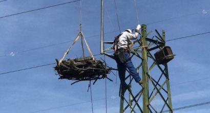 Piombino, tagliato un traliccio Enel per favorire la nidificazione del falco pescatore (1)