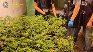 blitz della GdF in un mega vivaio di marijuana. Lo stupefacente svrebbe fruttato oltre 2 milioni di euro