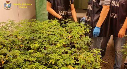 blitz della GdF in un mega vivaio di marijuana. Lo stupefacente svrebbe fruttato oltre 2 milioni di euro (3)