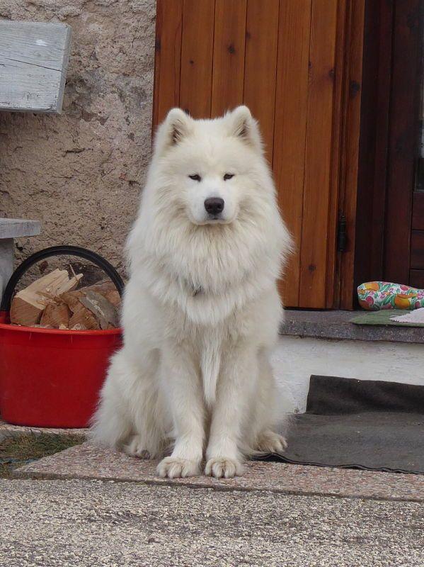 Cani, ilsamoiedo