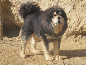 Cani, Il Mastino tibetano