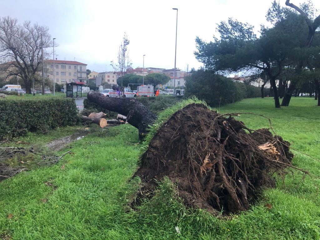 Maltempo Livorno, pino crolla sulla strada in viale della Libertà