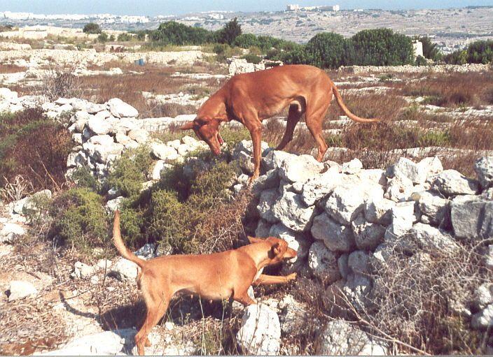 Pharaon hound, il cane dei faraoni