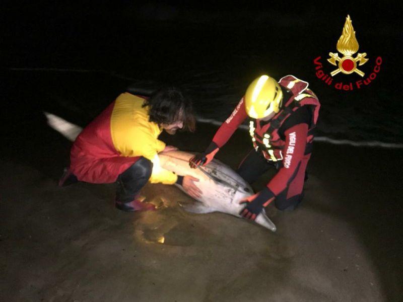 Piombino, i vigili del fuoco salvano un delfino