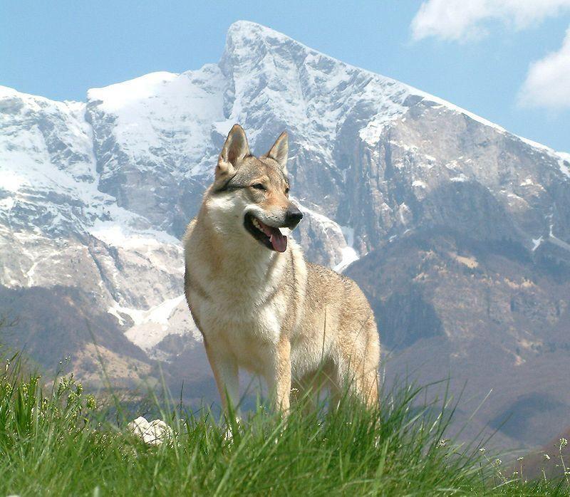 Il cane da lupo cecoslovacco