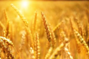 grano-agricoltura