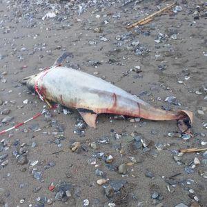 Rinvenuto delfino morto su una spiaggia lungo il viale di Antignano