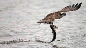 Falco Pescatore foto Wikipedia
