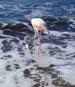 """Isola d'Elba: un fenicottero rosa """"turista"""" in riva al mare a Procchio"""
