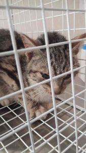 Trovato un gattino tigrato in via di Salviano. Chi lo ha smarrito?