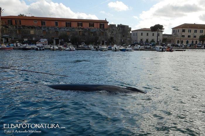 Elba, balene a Sant'Andrea Credits Antonello Marchese