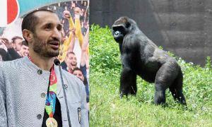 Chiellini Kink Cong e il paragne col gorilla, un documentario in stile Superquark
