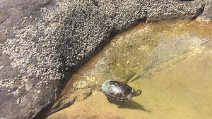 Tartaruga trachemis salvata alle Vaschette di Calafuria