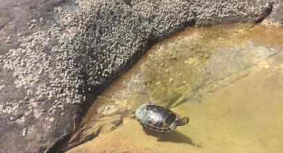 Tartaruga trachemis salvata alle Vaschette di Calafuria (Foto) (2)