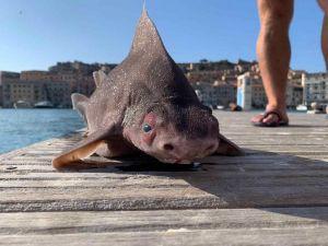 Oxynotus Centrina raro squalo che grugnisce (opesce porco)  (1)